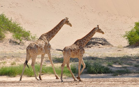 Giraffe Conservation Foundation