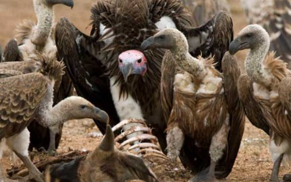 Vultures Namibia