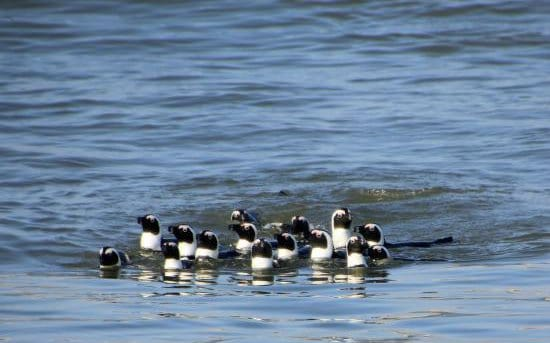 See the African Penguin in Luderitz