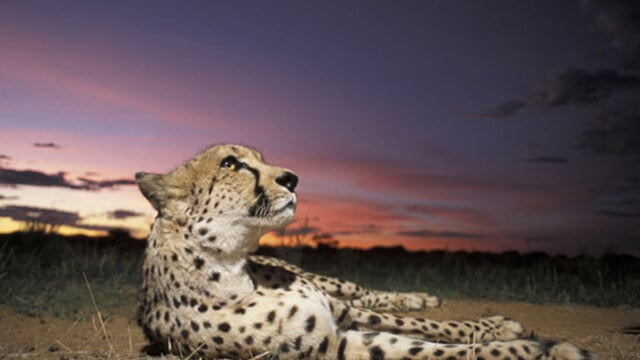 Cheetah Conservation Fund - CCF