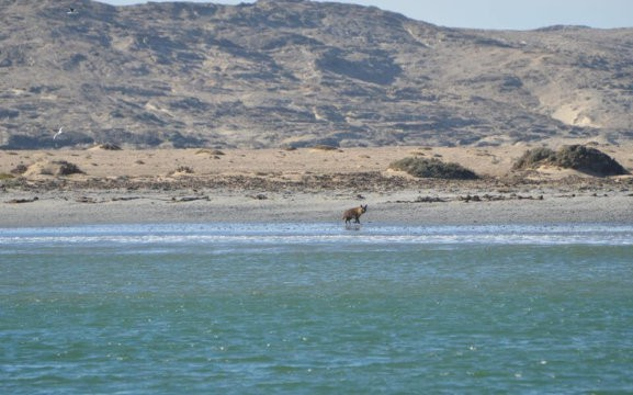 Zeepaard Boat Tours - Brown Hyena