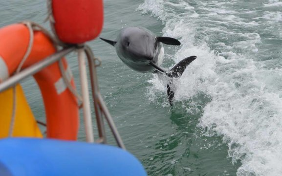 Zeepaard Boat Tours - Dolphins playing next to the catamaran.