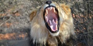 Game Drives & Lion Tracking